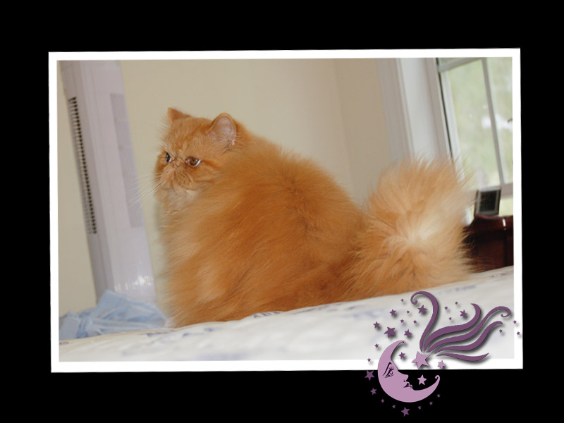 MARS-FLASH  ,Red-Pure Persian