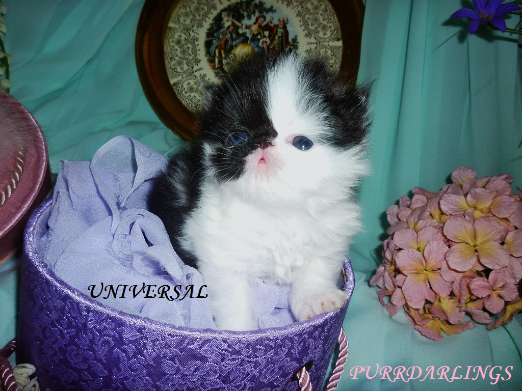 """AMAZING """" UNIVERSAL"""" TUXEDO  BLACK/WHITE  MALE  IS  RESERVED FOR PATRICIA"""
