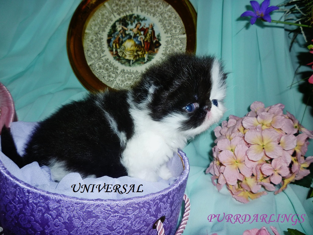 "AMAZING "" UNIVERSAL"" TUXEDO  BLACK/WHITE  MALE  IS  RESERVED FOR PATRICIA"