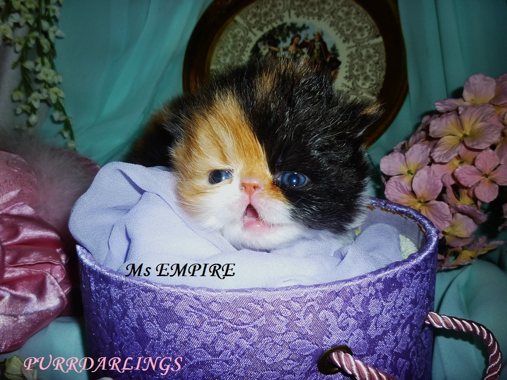 """DELIGHTFUL """" Ms EMPIRE"""" DOMINANT  CALICO BLACK/RED/WHITE FEMALE  IS  RESERVED FOR PATRICIA"""
